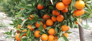 Fruit Tree UWI